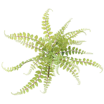 Button Fern- 22*16