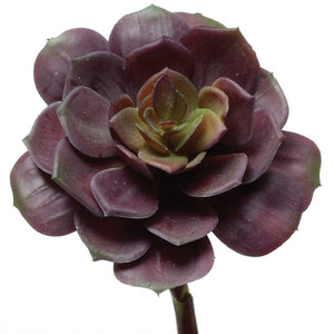 Garden Echeveria- Purple