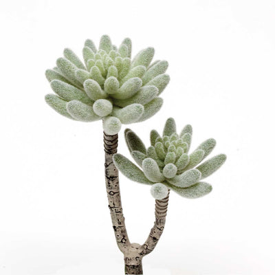 Frosted Double Rosette Succulent