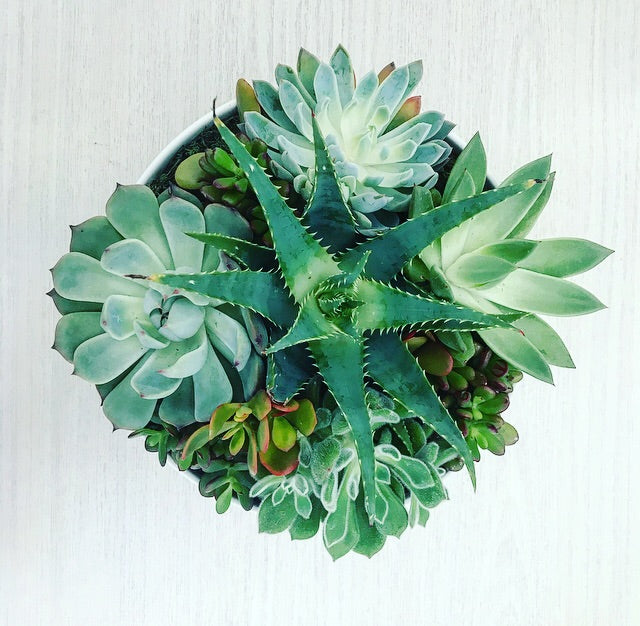 SOLD OUT - Potted Succulents