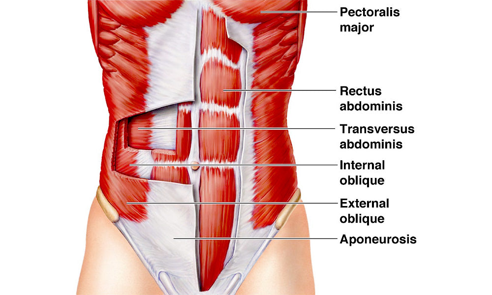 Diagram of abdominal muscle tissue