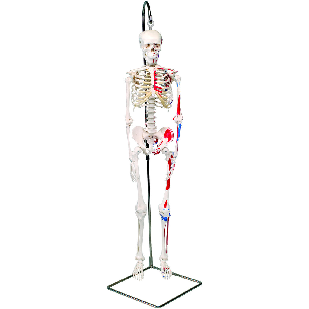 Anatomical Model - Shorty the mini skeleton with muscles on hanging stand