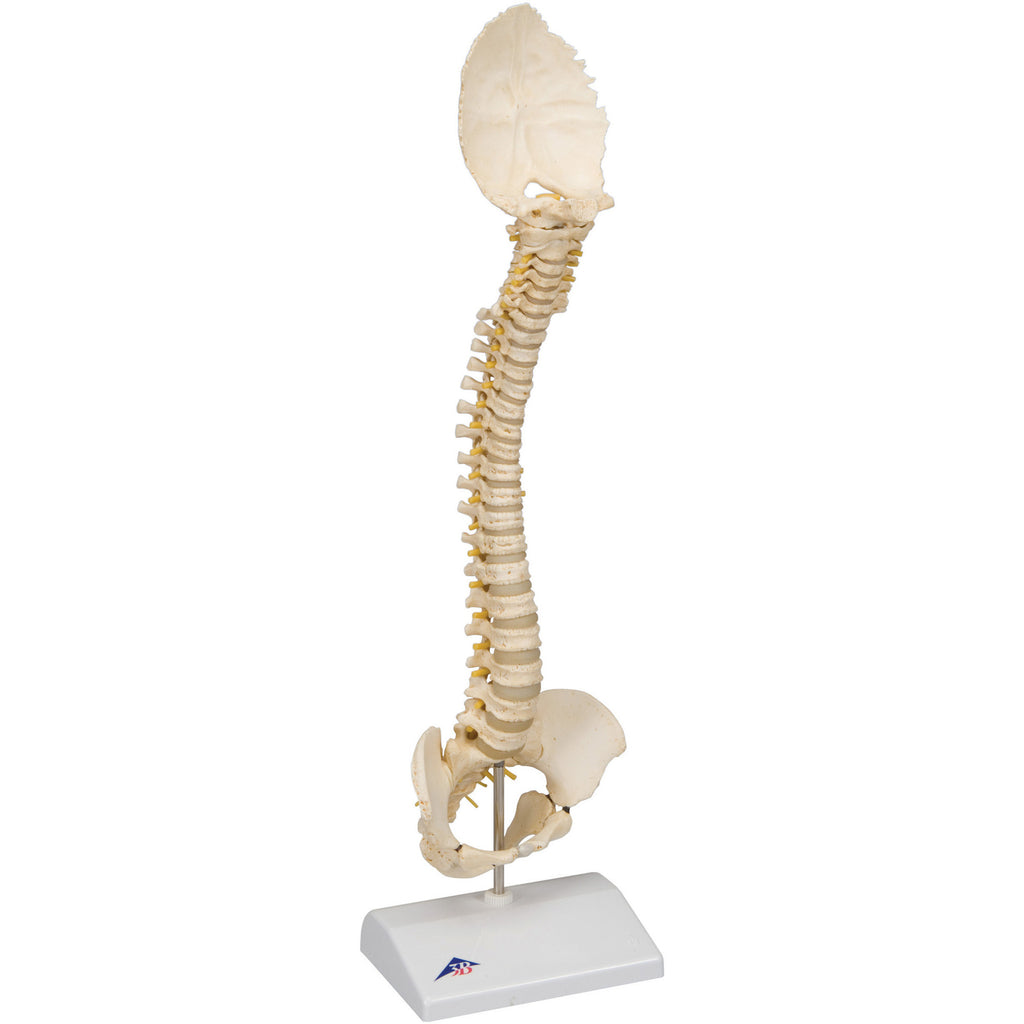 Anatomical Model - pediatric spine (BONElike)