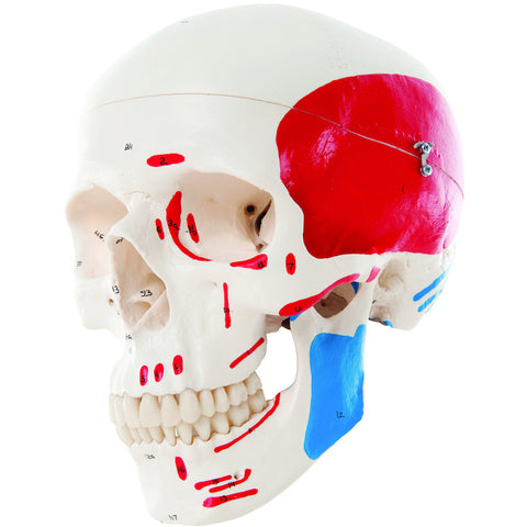 Anatomical Model - classic skull