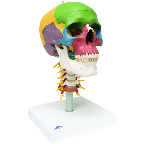 Anatomical Model - didactic skull