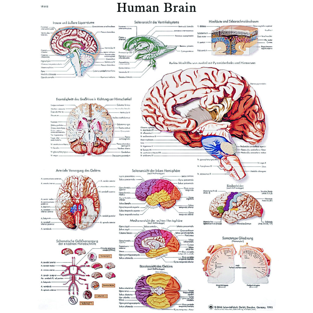 Anatomical Chart - human brain