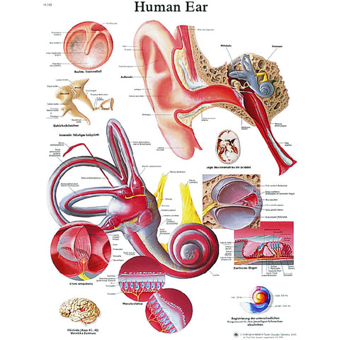 Anatomical Chart - ear