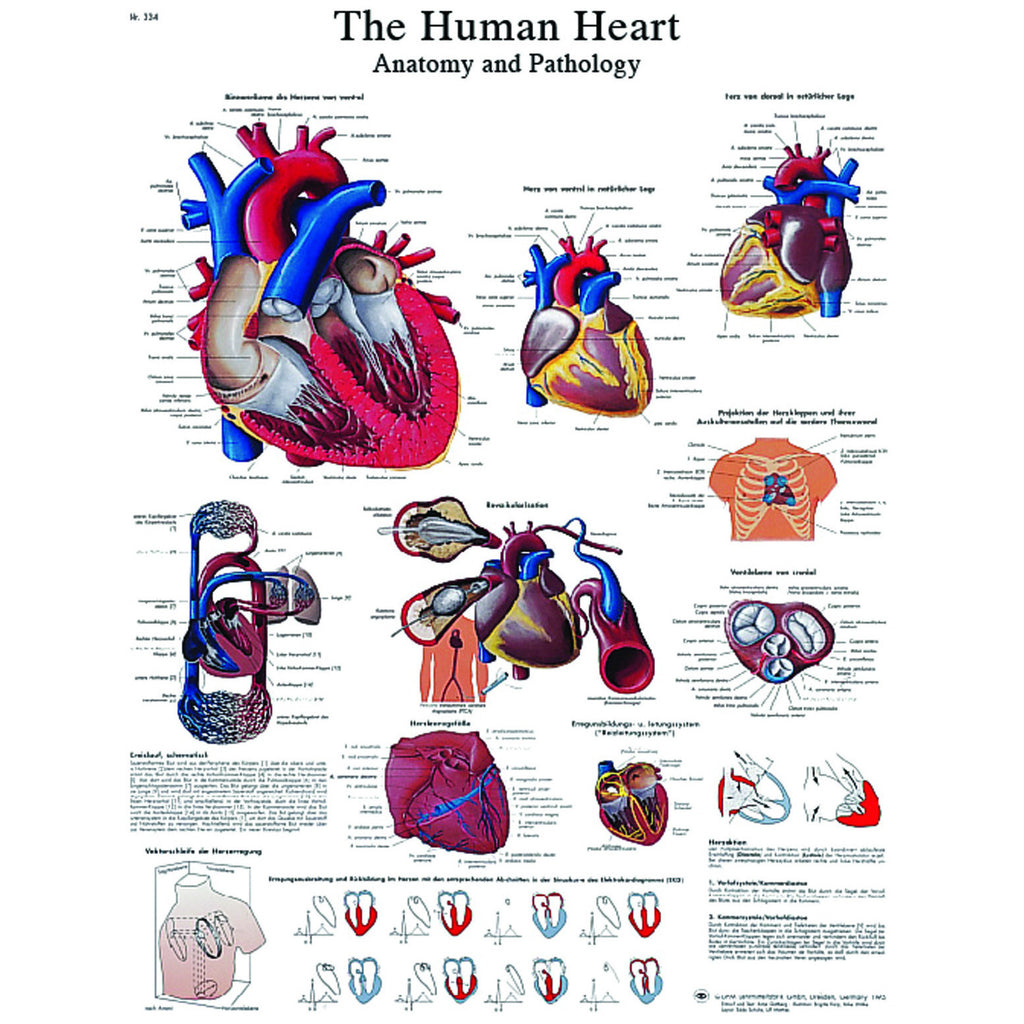 Anatomical Chart - human heart, sticky back