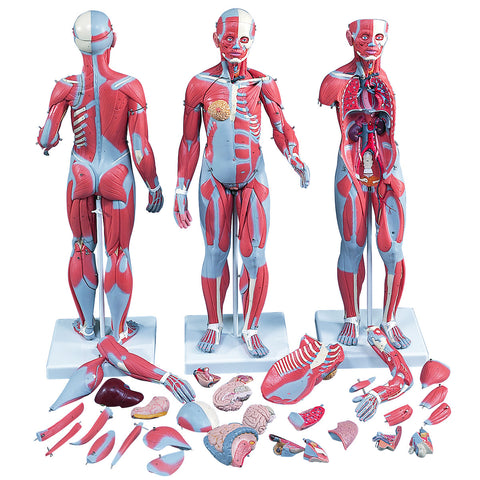 Anatomical Model - 1/2 Life-Size Complete Dual Sex Muscle Model, 33-part