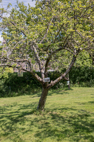 Apple Tree at Find and Foster's Huxham Orchard with Wild Wine School
