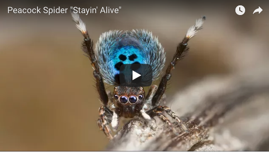 Disco Peacock Spider