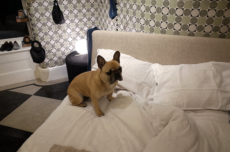 french bulldog dog on bed with a glowing light