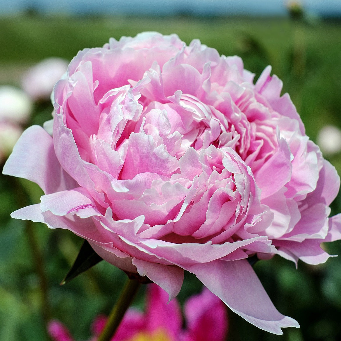Peony The King Of Flowers Rexius