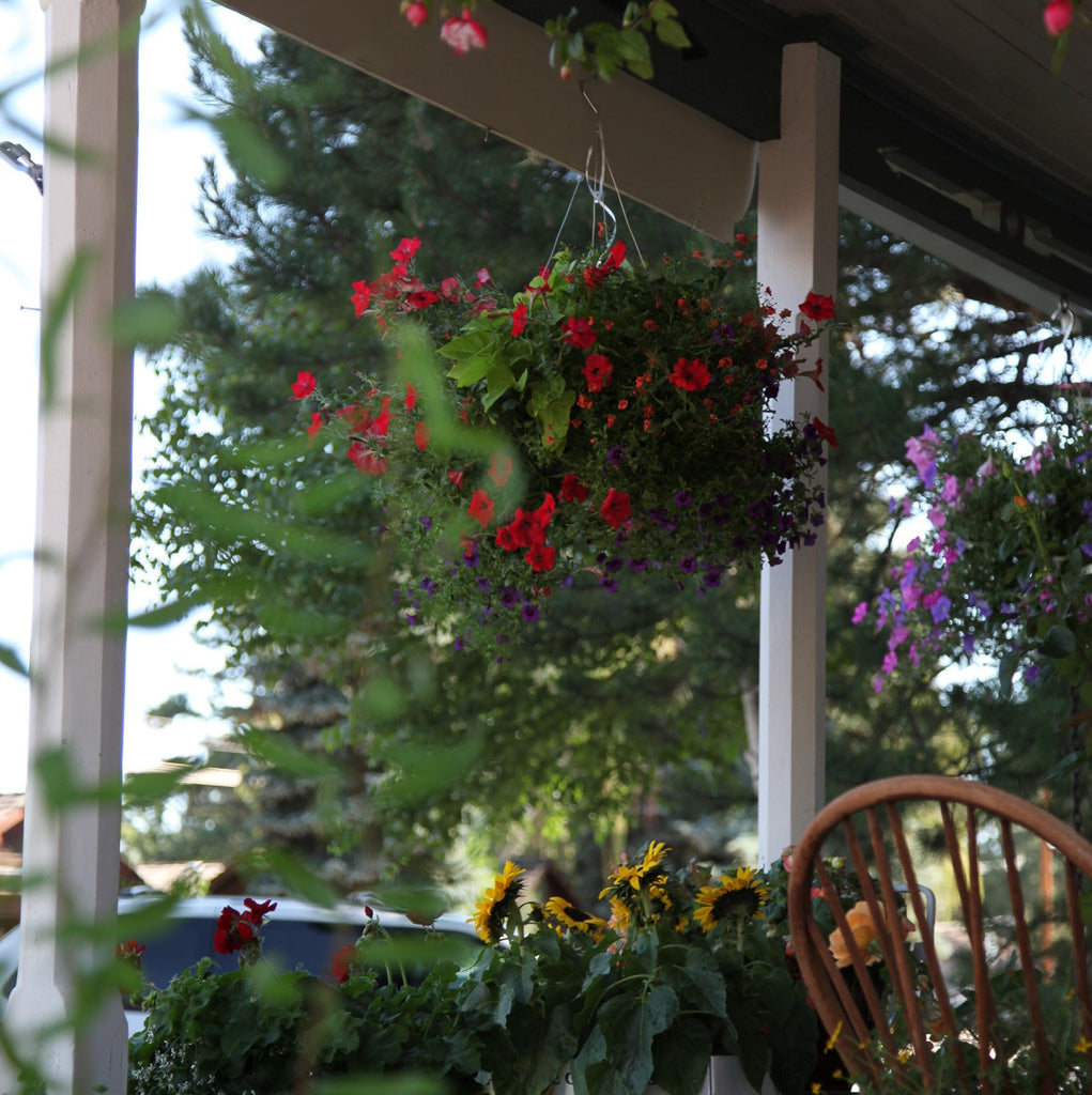 Deadhead and fertilize hanging baskets