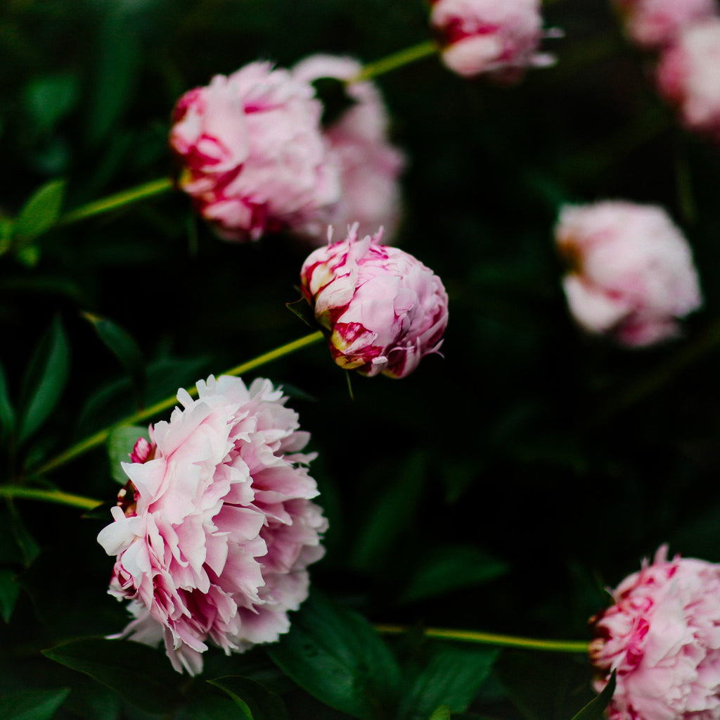 Divide and replant peonies