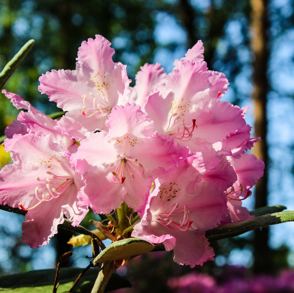 Fertilize Rhododendrons and azaleas