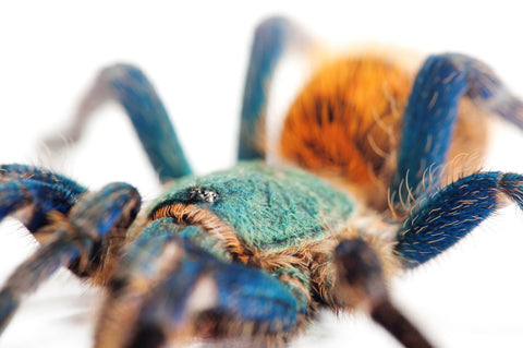 C.B Green Bottle Blue Tarantula
