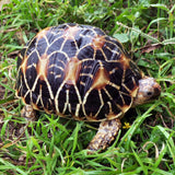 C.B. Baby Indian Star Tortoise
