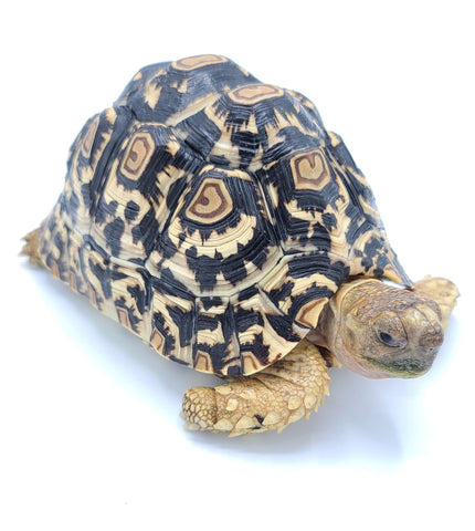 7-8 Inch Leopard Tortoise FEMALES