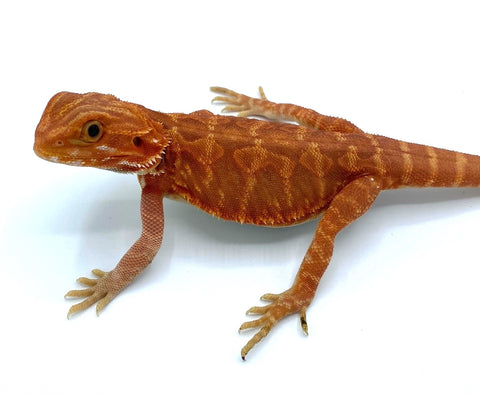 Super Red Leather Back Bearded Dragon BD1
