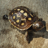 C.B. Baby Eastern Box Turtle