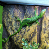 BABY CH GREEN TREE MONITOR