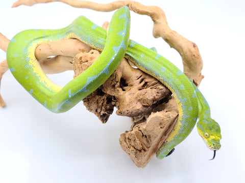 Jayapura Green Tree Python-Sub Adult Female