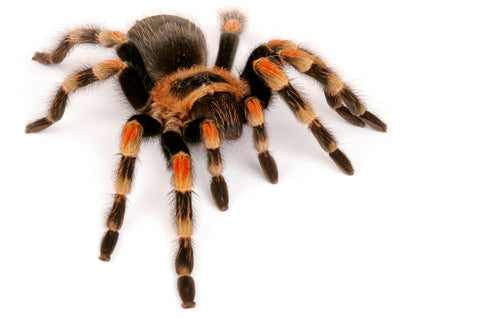 FULL SPIDER AVAILABILITY!