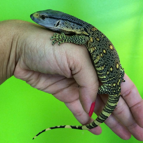 2020 BABY Black Throat Monitors
