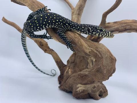 Hatchling Blue Tail Monitor