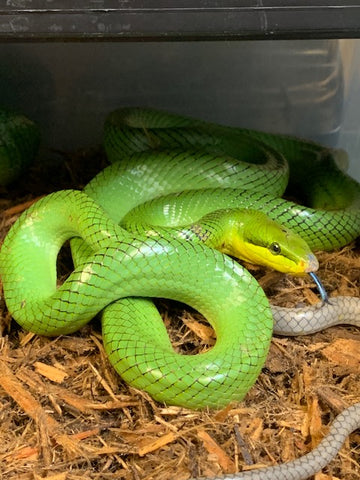 Red Tail Green Rat Snakes Adults