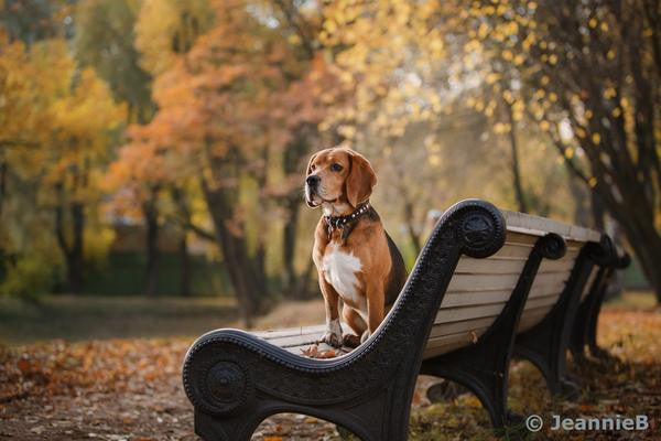 Beagle On Bench - Stunning Photo Chalkboards