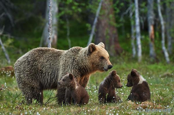 Bear With  Cubs - Stunning Photo Chalkboards