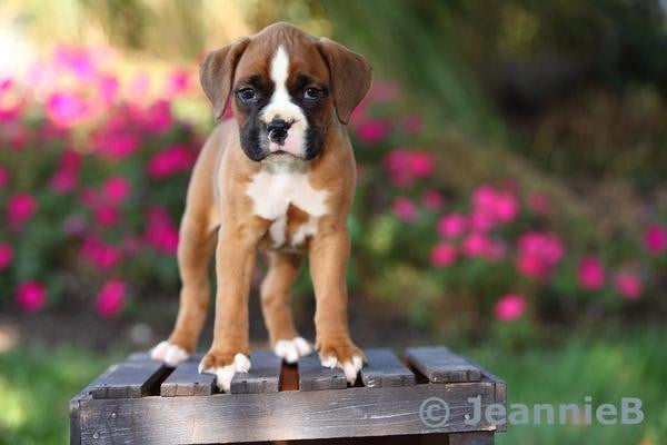 Boxer Puppy - Stunning Photo Chalkboards