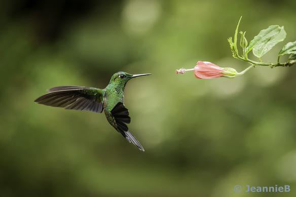 Green Hummingbird - Stunning Photo Chalkboards
