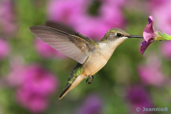 Humming Bird - Stunning Photo Chalkboards