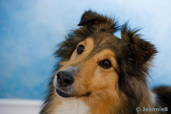 Sheltie - Stunning Photo Chalkboards