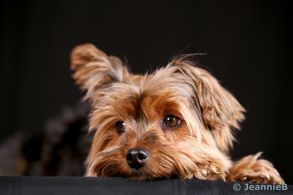 Peeking Yorkie - Stunning Photo Chalkboards