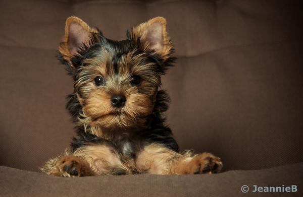 Yorkie - Stunning Photo Chalkboards