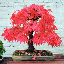 20 Seeds Per Pack - Japanese Red Maple Bonsai Tree