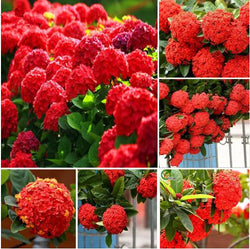 20 Seeds Per Pack Hydrangea Flower Seeds - 5 Colors Available