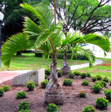 20 Seeds Per Pack - Bottle Palm Tree