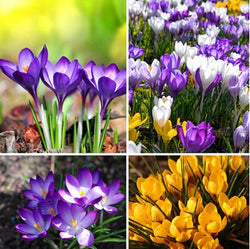 20 Seeds Per Pack - Saffron Crocus Seeds