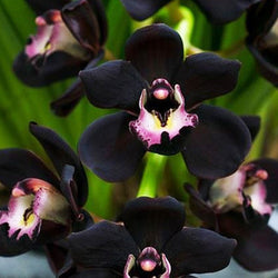 40 Seeds Per Pack - Black Cymbidium