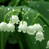 40 Seeds per Pack - Lily of the Valley