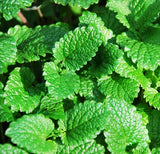 100 Seeds Per Pack -  Mentha Arvensis (Field Mint)Aromatic Herb Plant