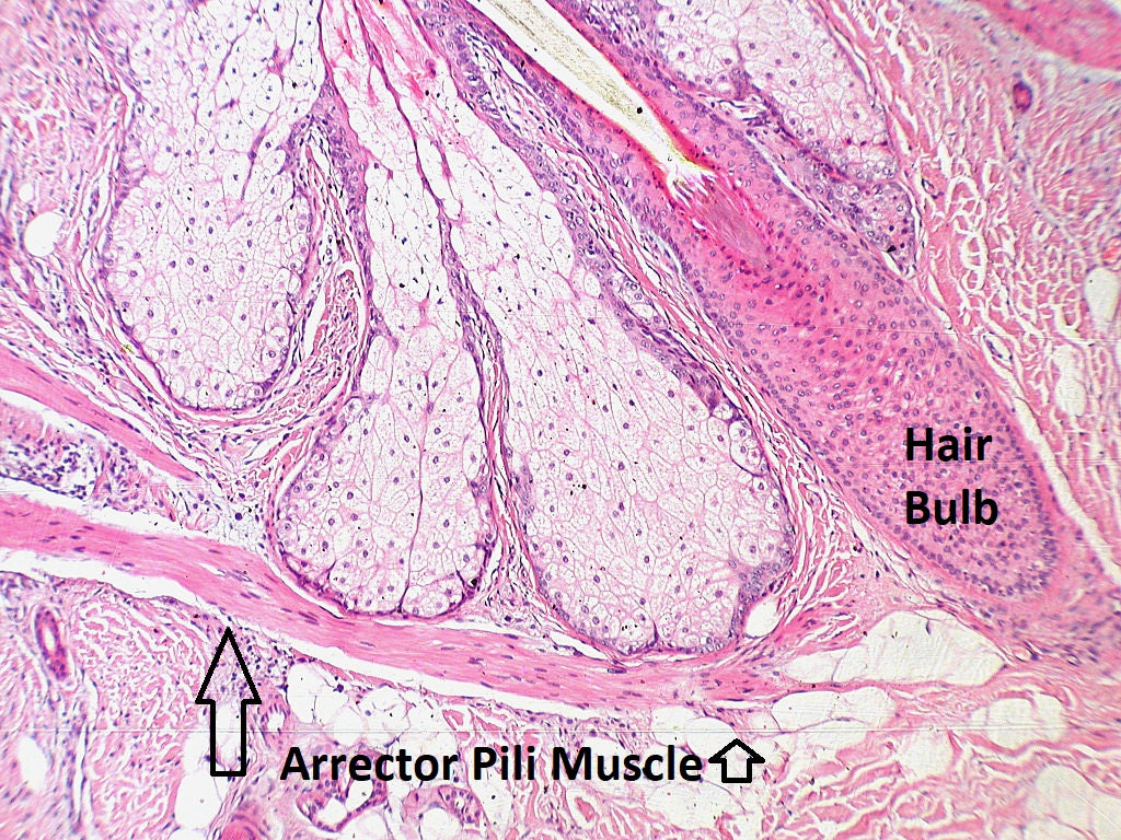 Hair Arrector Pili Muscle - What is It?