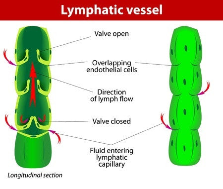 3 CE Hour Intro to Lymphatic Drainage $50