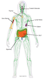 1 CE Hour Lymphatic Drainage: Tissues & Theory ONLINE