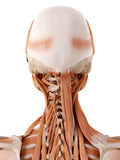 6 CE Advanced Myofascial Deep Tissue: Neck & Back